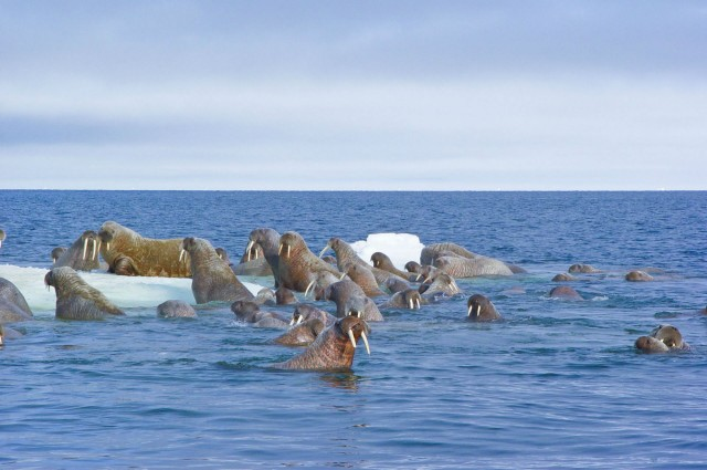 Herd of pacific walruses in the Canadian arctic.  – (c) Mario Cyr (CNW Group/Shell Canada Limited)